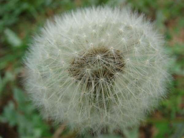Diente de leon Taraxacum officinale flor polen