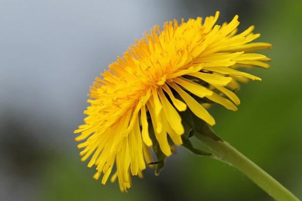 diente de leon Taraxacum officinale flor