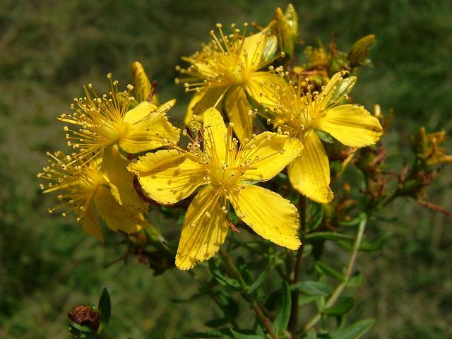 hiperico hipericum perforatum planta