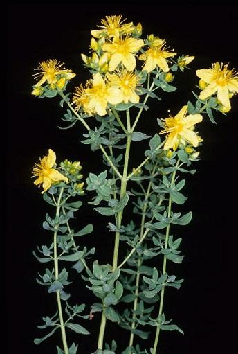 hiperico hipericum perforatum planta vertical