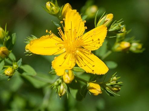 Hiperico Hypericum perforatum flor