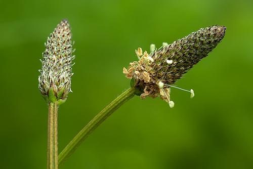 llanten flor