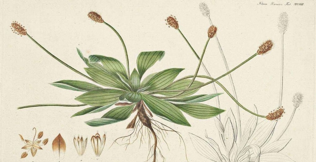 llanten-cabecera-plantain-plantago-lanceolota-l