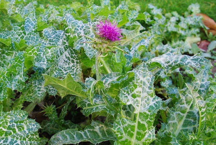 -cardo-mariano-hoja-flor Silybum marianum