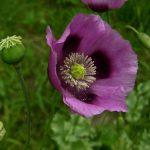 alcaloides-flor-adormidera