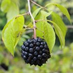 Lista de plantas medicinales adaptógenas