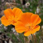 Principales plantas medicinales sedantes