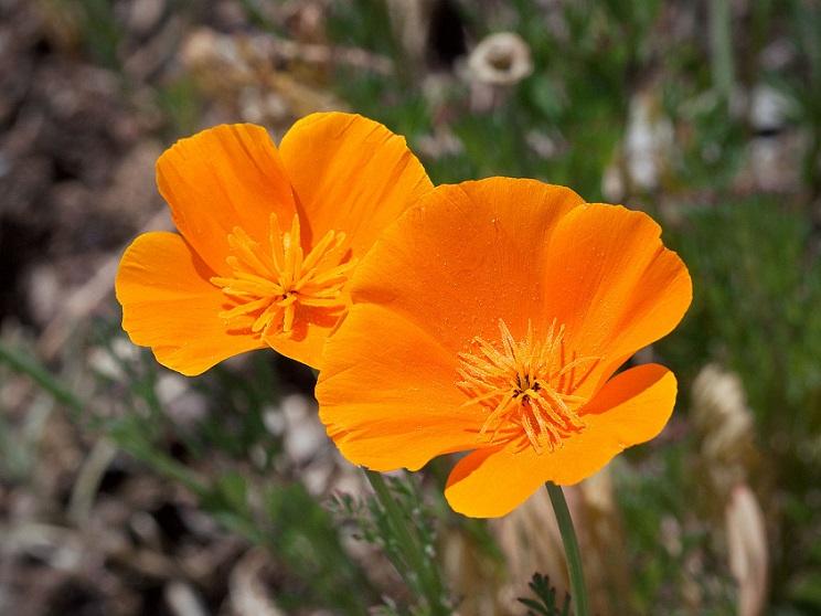 plantas-medicinales-sedantes-amapola-decalifornia-eschscholzia_californica