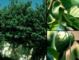 plantas-y-salud-annona-cherimola-2