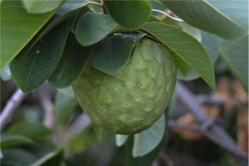 chirimoya-en-arbol