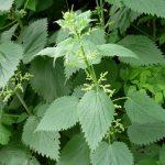 Principales plantas medicinales diuréticas