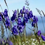 Principales plantas medicinales analgésicas o anodinas