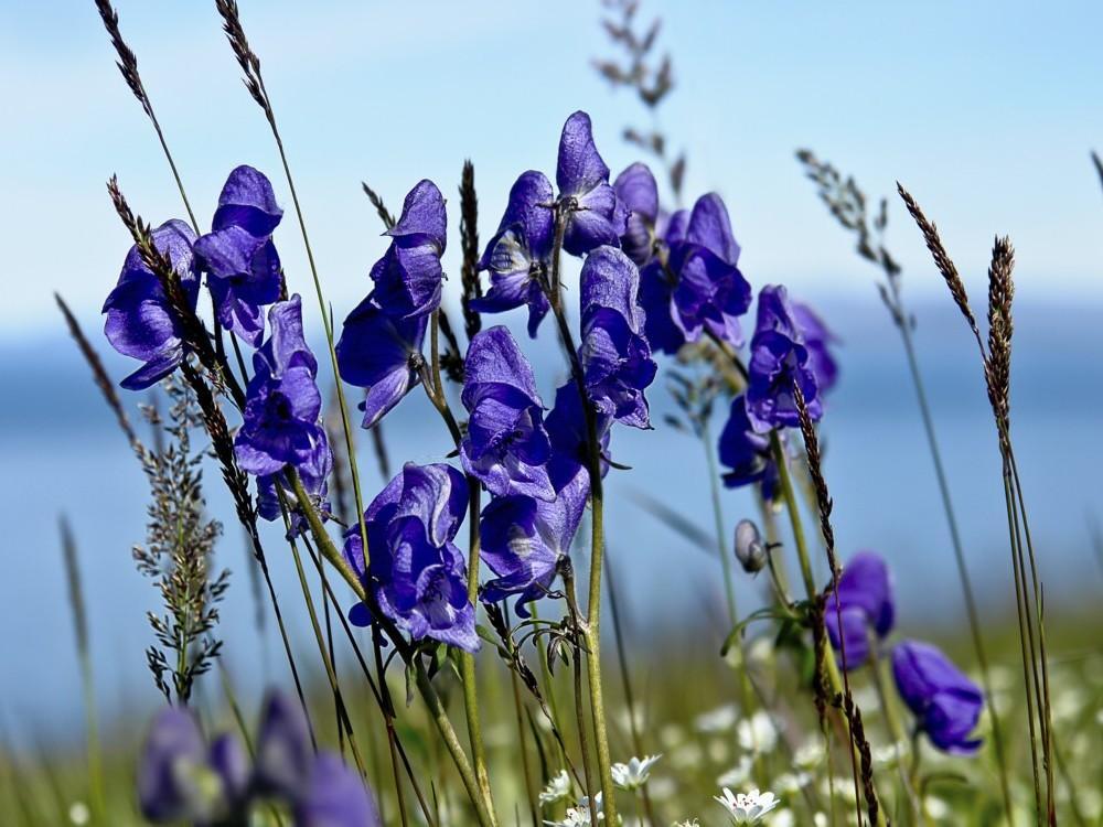 plantas-medicinales-analgesicas-aconito