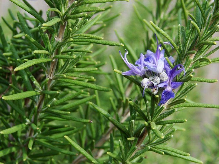 Principales plantas medicinales colagogas las plantas y for Mezclas de plantas medicinales