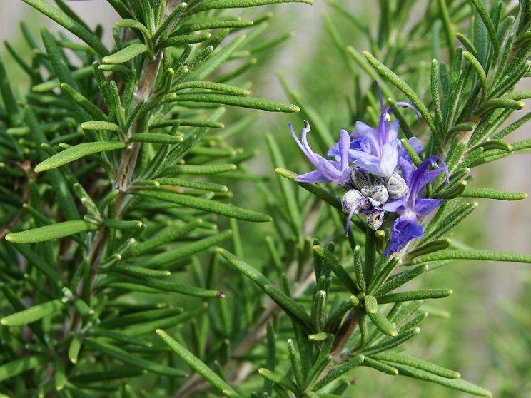 romero-rosmarinus-officinalis-plantas-medicinales-diureticas