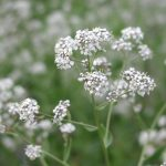 Principales plantas medicinales antilíticas