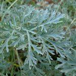 Principales plantas medicinales antihelmínticas