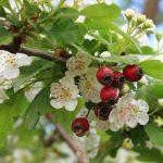Principales plantas medicinales cardiotónicas