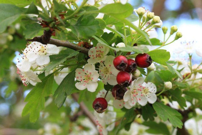 plantas-medicinales-cardiotonicas-espino-albar