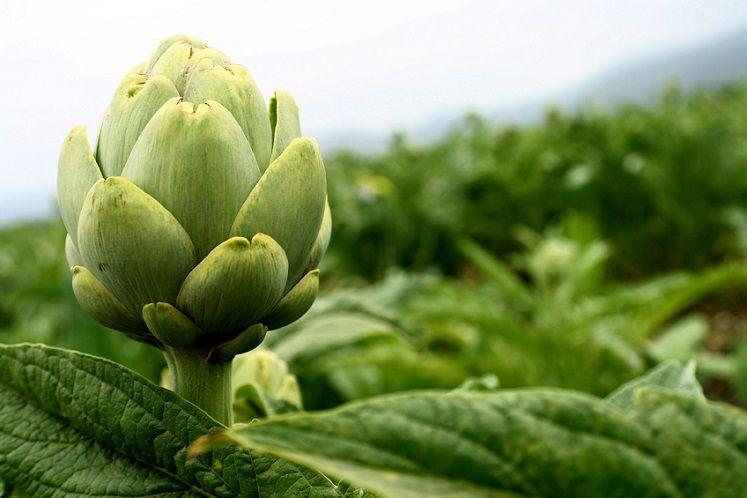 plantas-medicinales-obesidad-alcachofa