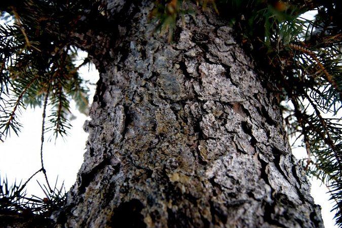 Pygeum-Africanum-Tree