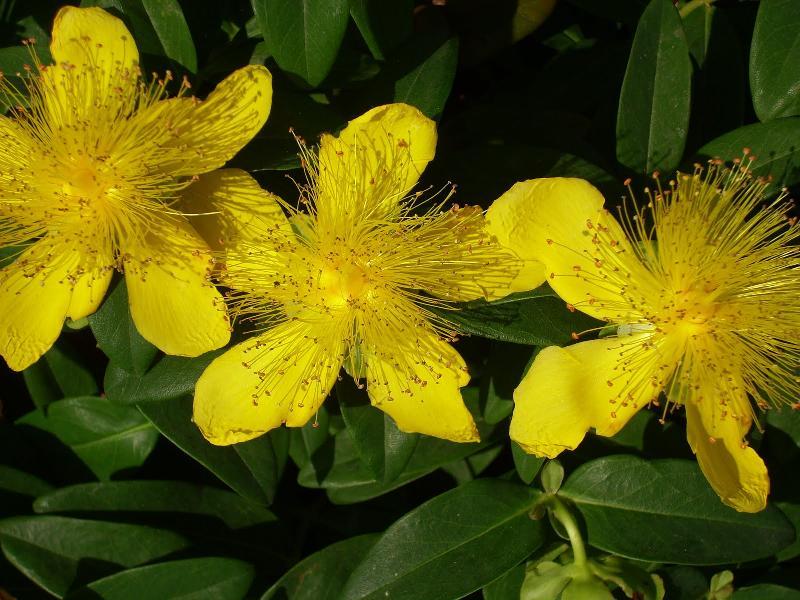flor hiperico hypericum perforatum