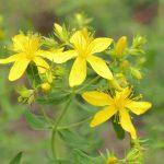 Plantas medicinales en el tratamiento de los síntomas de la fibromialgia