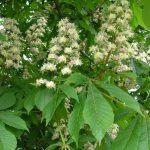 Plantas medicinales a evitar junto a medicamentos anticoaguantes