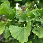 ginkgo interacciones entre plantas y medicamentos