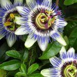 Plantas medicinales a evitar junto a medicamentos antidepresivos