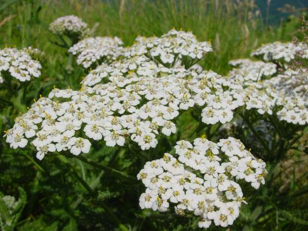 milenrama achillea-millefolium