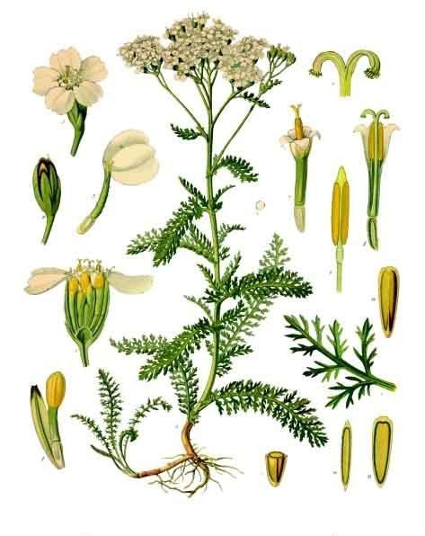 Milenrama Achillea_millefolium ilustracion
