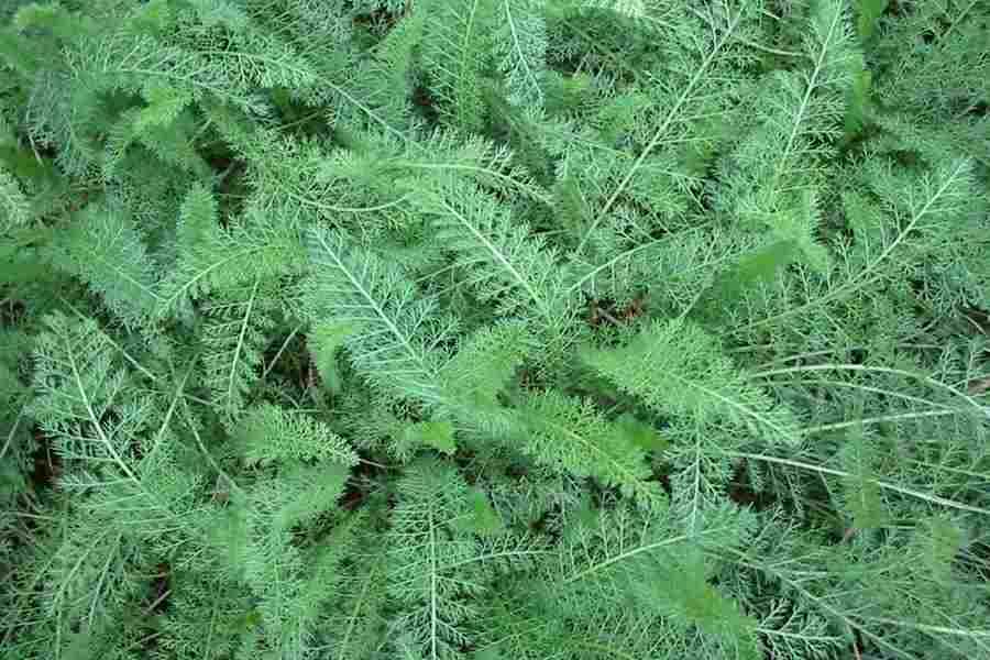 Milenrama achillea millefolium hojas