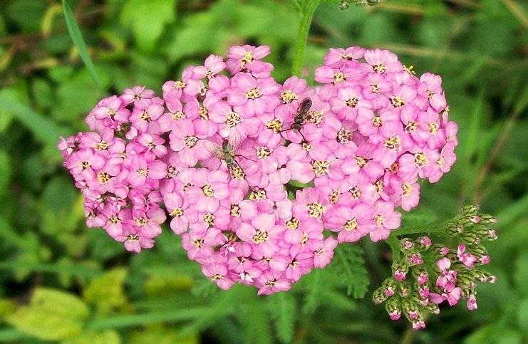 Milenrama achillea millefolium flores