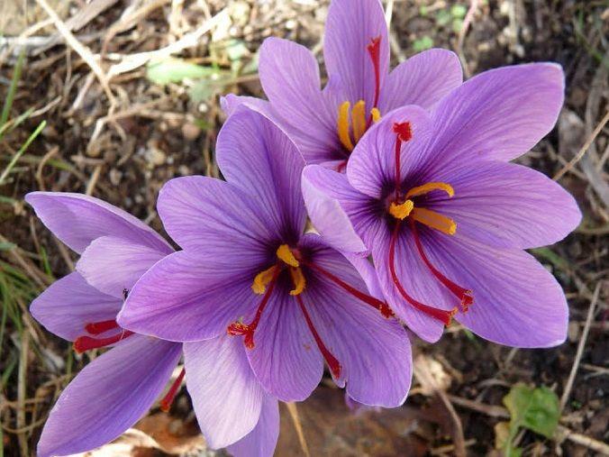 Crocus-sativus-azafran