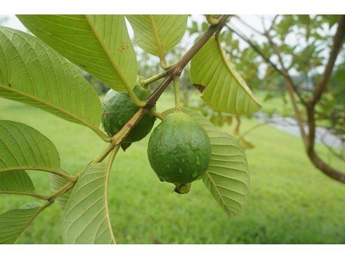 -hojas-de-guaya-guayaba-2 Psidium guajava
