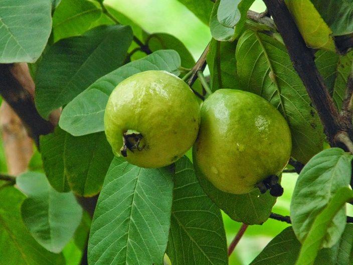 hojas-de-guaya-guayaba Psidium guajava