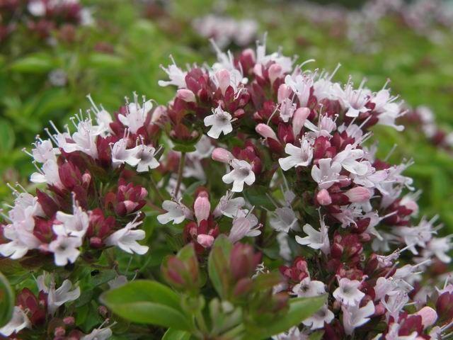 origanum-vulgare-compactum