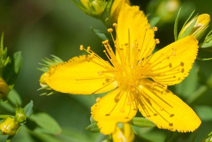 flores-de-hypericum-perforatum
