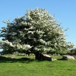 Espino albar, extraordinaria planta medicinal para los problemas de corazón