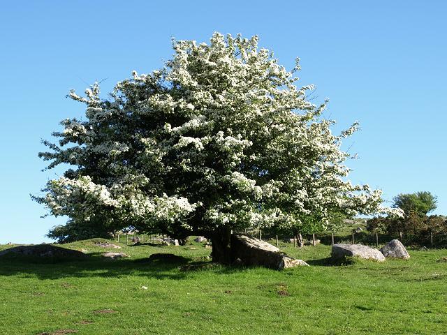 espino albar arbol crataegus_monogyna_hawthorn