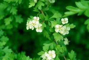 espino albar flor crataegus_monogyna
