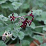 Pelargonio, eficaz en el tratamiento de las afecciones respiratorias