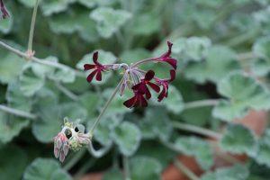 perlagonio Pelargonii radix