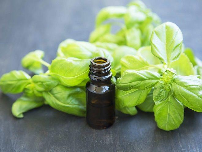 aceite esencial de albahaca Ocimum basilicum