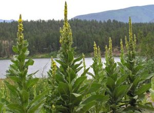 Verbascum-thapsus-gordolobo-paisaje