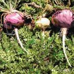 raiz maca Lepidium meyenii