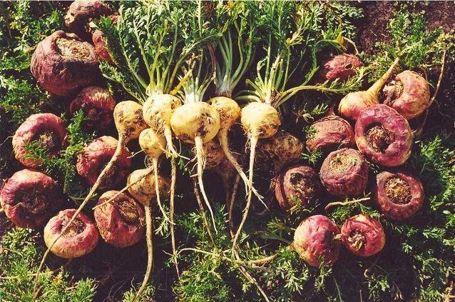 raiz-maca-Lepidium-meyenii-rojas-amarillas