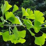 Mecanismos de acción de plantas medicinales de la medicina china en el tratamiento del Alzheimer