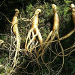 Uso actual del ginseng